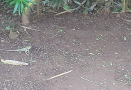 A lizard in Goa